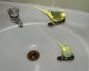 Budgie Boarding Picture