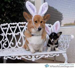 Funny Dogs-corgi-with-bunny-ears