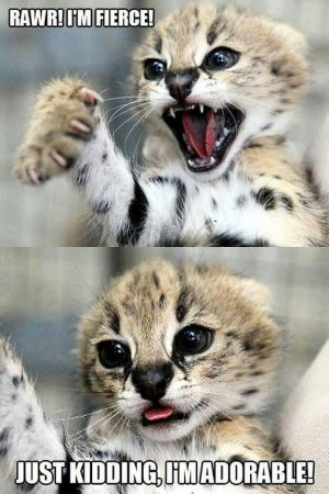 Rawr! I'm fierce! Just kidding, I'm adorable. #cute #kitten #cat