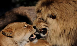 lion love by roberto m betta lion love