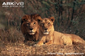 Asiatic lion and lioness