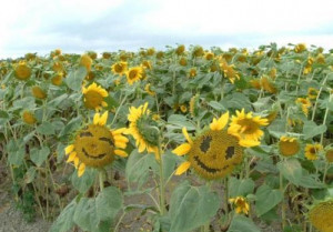 baa-Happy-sunflower-happy-day-.jpg