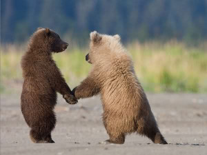 Funny grizzly bear cubs