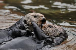 Sea otters hugging