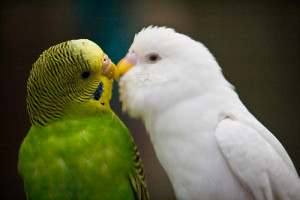 Labels: Birds Pictures , Birds Wallpapers , Love Birds
