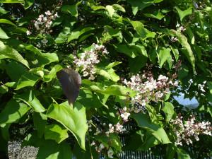 others especially the indian bean tree catalpa bignonioides take on
