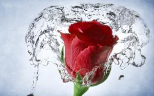 鲜艳红玫瑰主题桌面壁纸 (1/8)