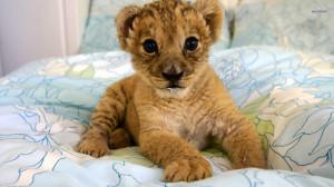 Lion-cubs-image-lion-cubs-36139549-1920-1080.jpg