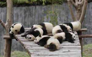 Home - Wallpapers / Photographs - Animals - Pandas