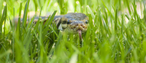 Snake_In_The_Grass.jpg
