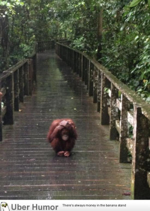 Apparently orangutans don't enjoy the rain very much.