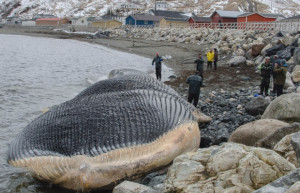 blue whale carcass washed ashore this past spring near Trout River ...
