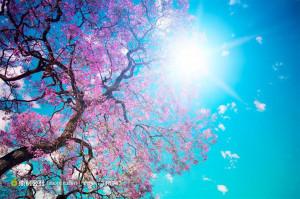 漂亮的樱花树图片下载 (JPG)