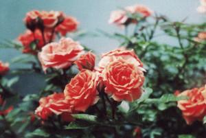 cute, flowers, grunge, hippie, indie, pink, roses, vintage