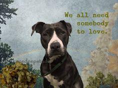 Love Quote Photographic Pit Bull dog portait 8x10 original fine art ...