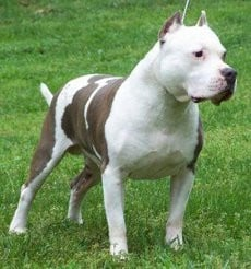 Razors Edge Pitbulls How...