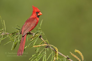quotes about cardinal birds