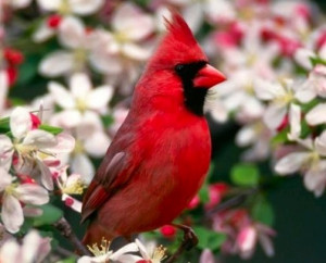 Northern Cardinal via Bird's Eye View at www.Facebook.com ...