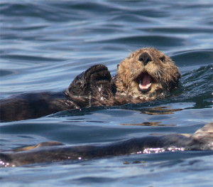 Funny Sea Otter Beautiful Photos