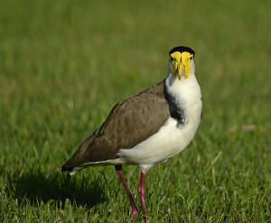 Thread: masked lapwing,Plover and tiny baby