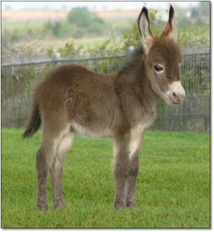 Itsy Bitsy Burro Company - 2008 Newborn Miniature Donkeys