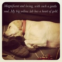 for Star - a big Yellow lab..... Nothing loves you like a yellow lab ...