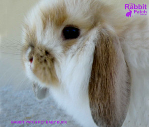 Url Free Pet Wallpapers Rabbit