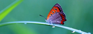 Morning dew,butterfly Fb Cover