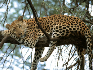 Big Cat Lying On Tree