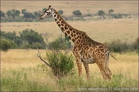 funny giraffe quotes funny+giraffe+(3) Funny gira...