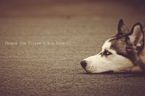 Siberian Dogs Quotes Wallpaper Picture 164