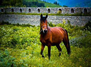 Historic quotes about horse-breeding in Armenia