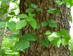 Poison Ivy Plant Spring