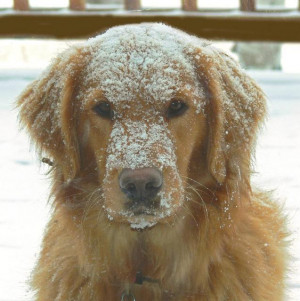 Funny pic of a golden retriever probably wanting to come back inside ...