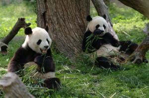 Panda GPS stalking study concludes elusive Pandas have secret social