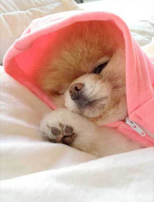 Boo, cutest dog in the world, is sleepy