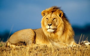 21 Incredible Pics of African lion's, White Lions, Baby Lions