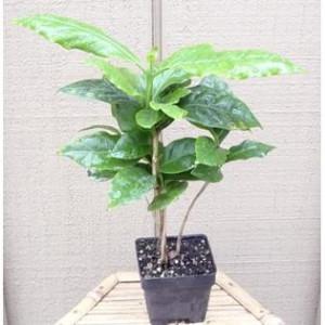 ... : Coffee Plant Hirt's Arabica Coffee Bean Plant - 4