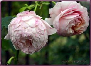 Rose Peter Paul Rubens (FloribundaRose)