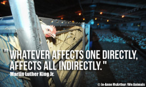 Chickens on Factory Farm and Martin Luther King Jr. Quote