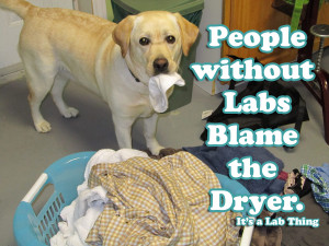 Funny Lab Puppy Pictures It's a lab thing sock thief