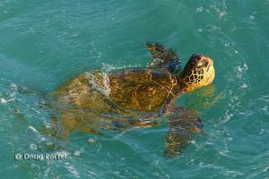 Hawaiian Green Sea Turtle Pics