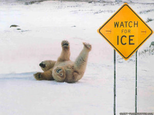 Polar Bear Slipping Ice Funny Sing Posted Blaine HD Wallpaper