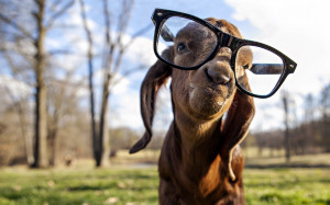 Goat with glasses Wallpapers Pictures Photos Images