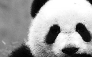cute, panda, quote, quotes