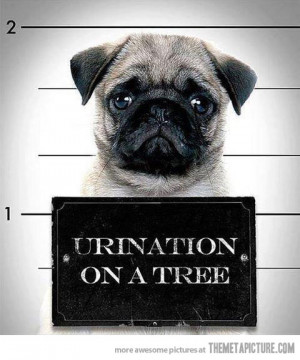 funny pug prison jail