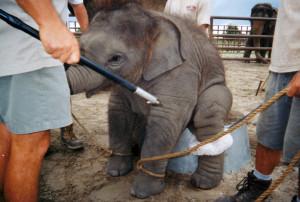 Circus Training Cruelty: Elephant Baby Slideshow