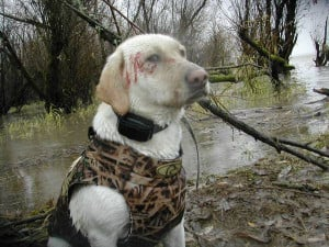 Re: WAterfowl hunting dogs?