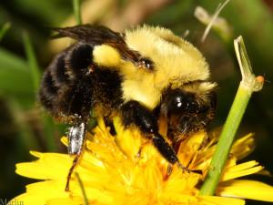 Bumble Bee Wildlife Bugs