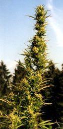 marijuana site full of best weed strains, weed types, and marijuana ...